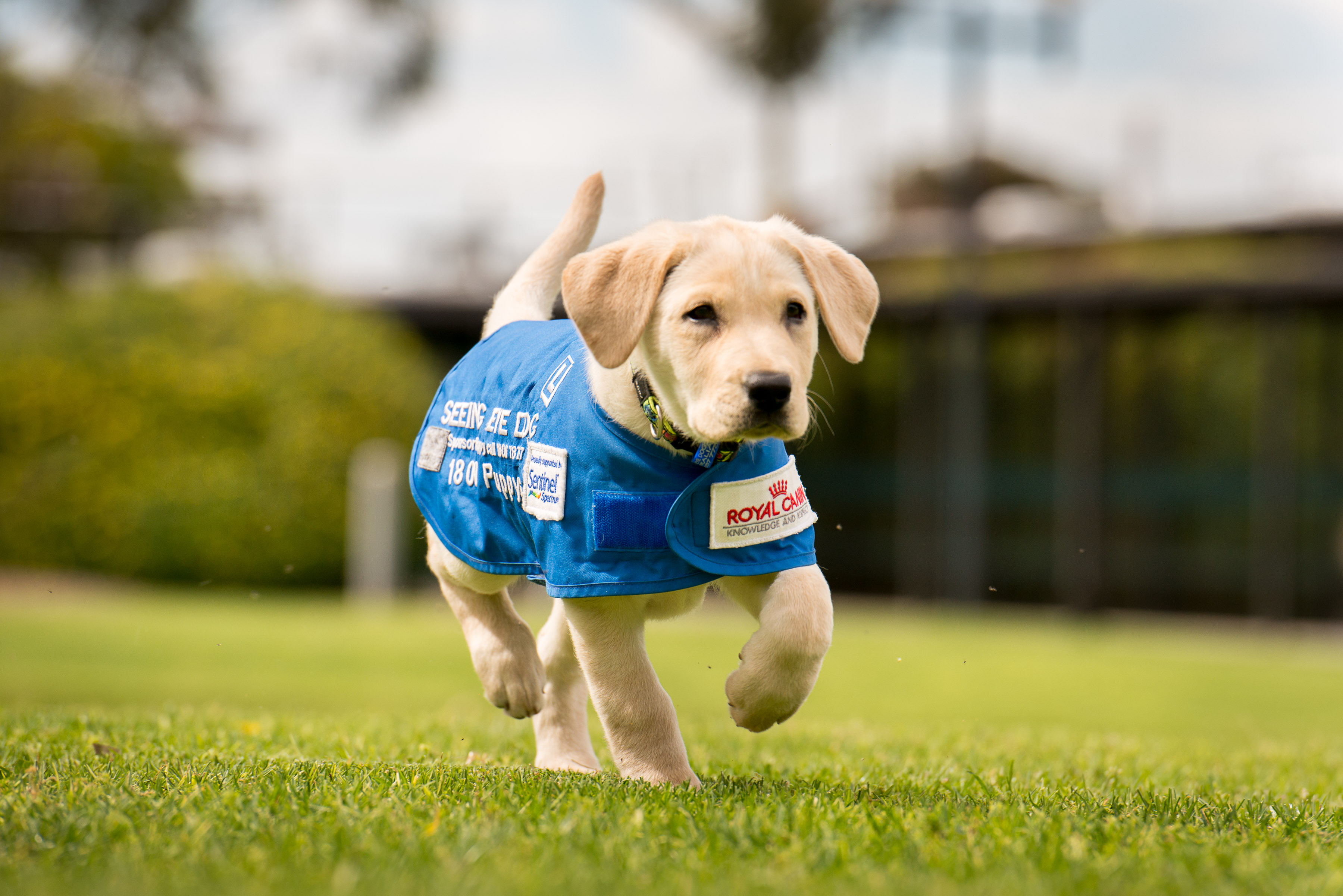 Photo 7-service-dog-puppy-in-training