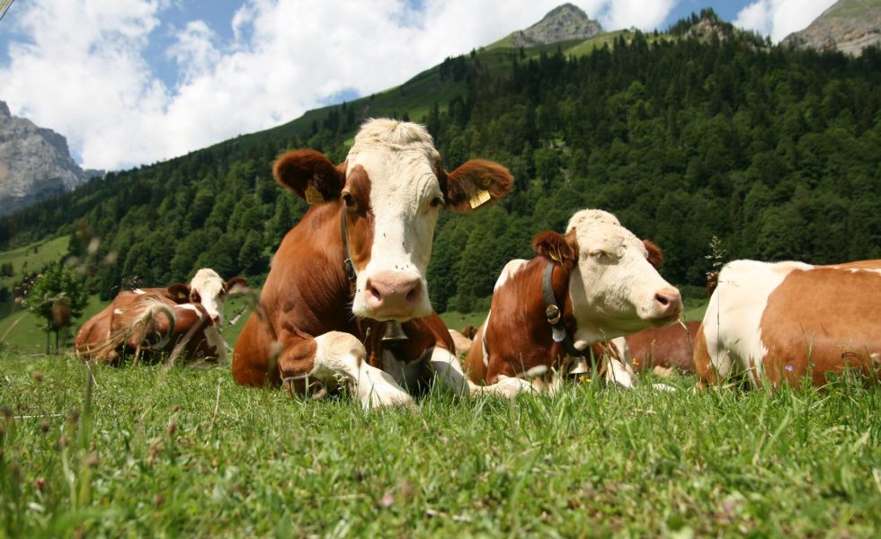 photo 1-animal-rights-cows-in-pasture