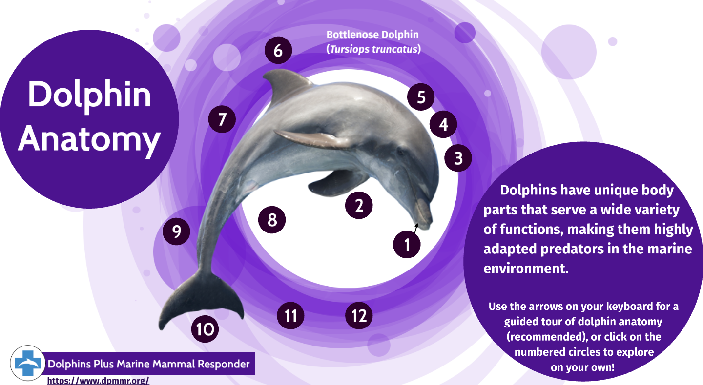 Interactive Dolphin Anatomy Guide